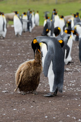 King penguin mother and her chick