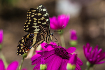 Pretty Black Butterfly on Pink Flowers