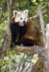 Red Panda Animal Wildlfie