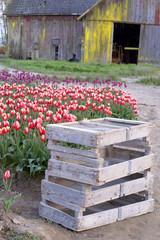 Farmer's Tulip Field Flower Farm Agriculture Barn