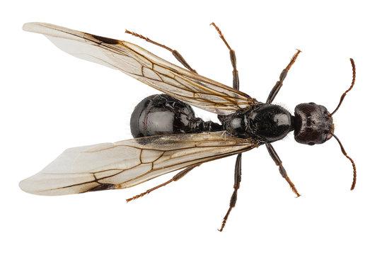Black Winged garden ant species niger lasius