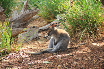 Full body side profile of a small Australian Wallaby