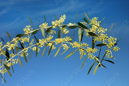 Ramoscelli di ulivo fioriti immagini e fotografie for Acquisto piante ulivo