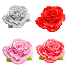 set rose isolated