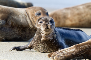 Seal Puppy in La Jolla Beach