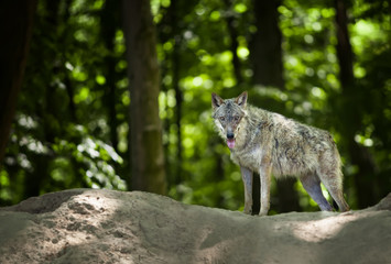 Eurasian wolf in forest looking for food