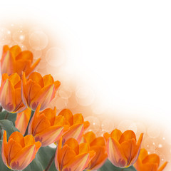 Fresh tulips . Floral background.