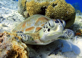 Curious Green Turtle