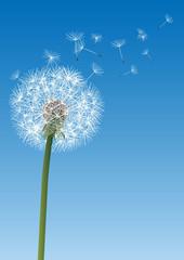 vector dandelion on blue