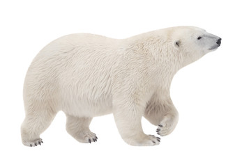 Foto op Plexiglas Ijsbeer bear walking on a white background