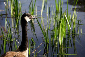 Canada goose looks at sunset