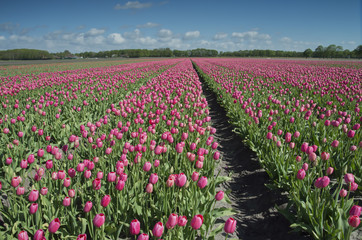 Wall Mural - tulip field