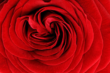 Poster Macro Beautiful red rose flower. Closeup.
