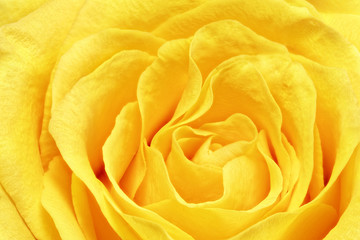 Poster Macro Beautiful yellow rose flower. Сloseup
