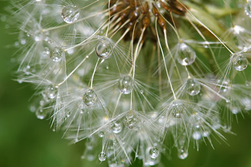 Photo sur Toile Pissenlits et eau Dandelion after rain