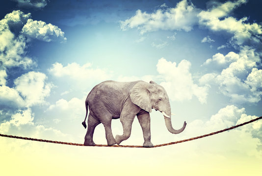 African elephant walks safely on a hanging rope. courage and risk concept.
