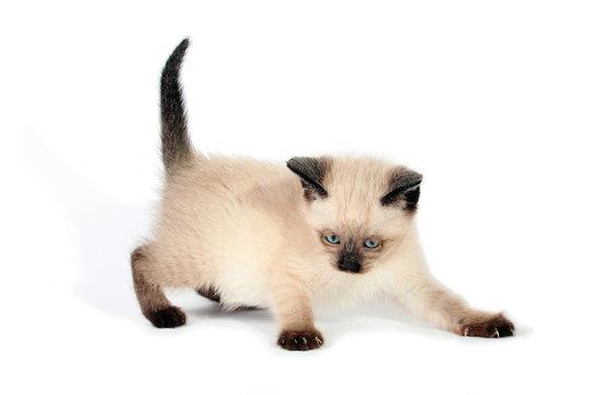 Playful siamese kitten