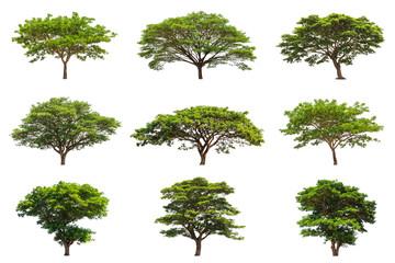 Collection of Rain trees (Samanea saman)