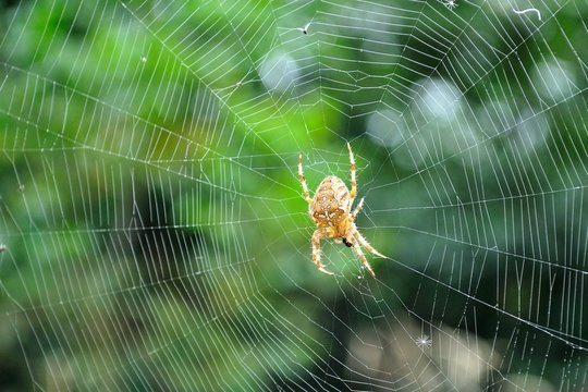 Detail view of Cross spider (Araneus diadematus)  in its web