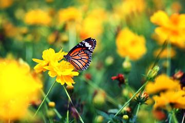 Beautiful butterfly stay in yellow flowers