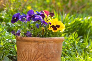 Fototapeta Small pansies or viola planted in clay pots in the springtime ga obraz