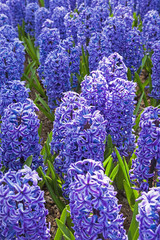 Field of purple hyacinths.