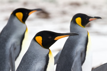 Three King penguins walking on the beach - closeup