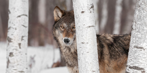 Foto auf Leinwand Wolf Grey Wolf (Canis lupus) Stands Amongst Trees