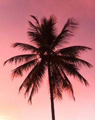 Coconut tree silhouette.( Cocos nucifera   L. var. nucifera )