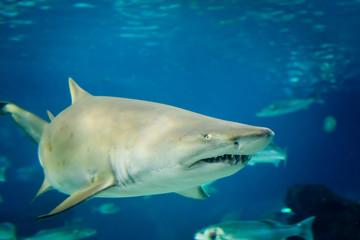 sand tiger shark (Carcharias taurus)  underwater close up portra