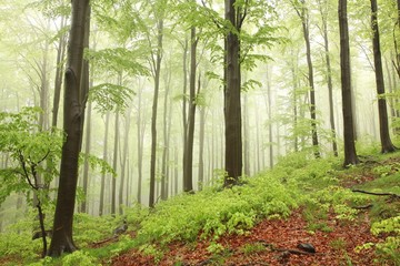 Spring beech forest in the rain surrounded by mountain mist