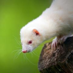 Fototapete - white ferret