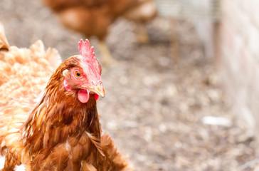 rhode island red hybrid chicken in the back garden