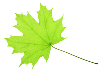 One green maple leaf