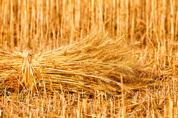 sheaves of ripe wheat