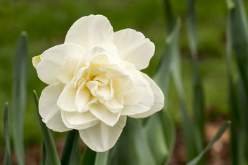 Photo on textile frame Narcissus white narcis in the garden