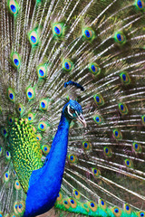 Showing male peacock