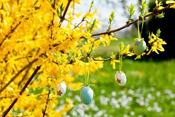 Bunte Ostereier eier an einem forsythie Strauch zu Ostern