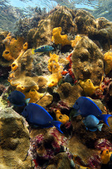 Colored underwater life in a coral reef with tropical fish, marine worms and sea sponges, Caribbean, Jamaica