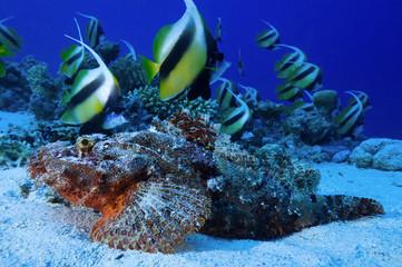 Heniochus intermedius, Red Sea bannerfish school swimming