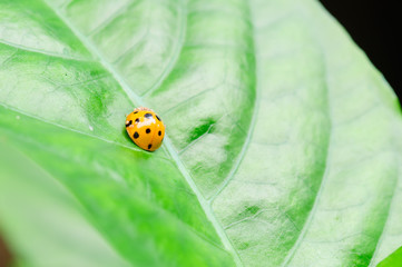 one ladybird  on the green leaf.