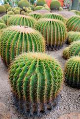 Spherical cactus in the park