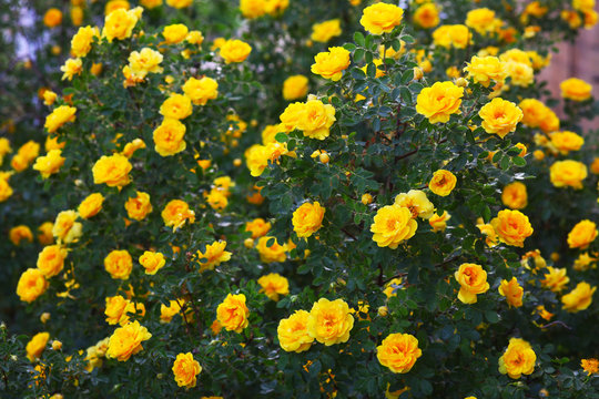 briar yellow rose bush flowers nature background wallpaper