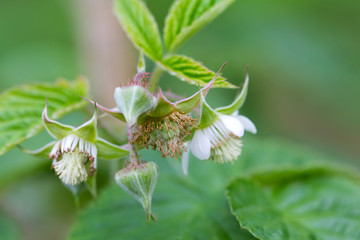 flowers on raspberry in nature