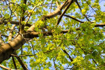 Tuinposter Aan het plafond Crohn young maple