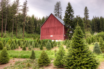 Rural Christmas tree farm.
