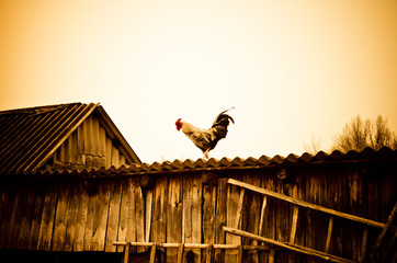 cock on a roof