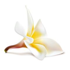 Vector magnolia flower.