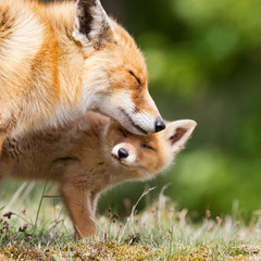 Red Fox and her young cub