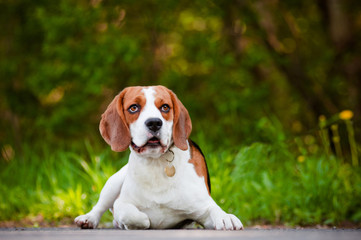adorable beagle dog outdoors
